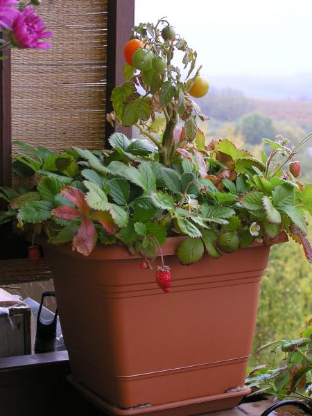 balkónové jahody