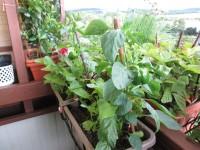 Koniec úrody aj na balkónoch