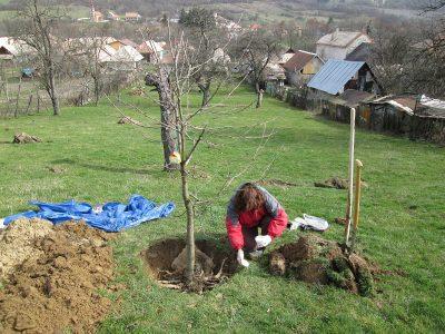 presadenie starého stromu