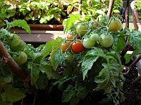 Balkónové rajčiny už dozrievajú