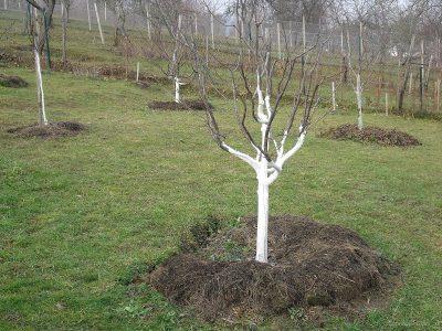 ovocné stromy ošetrené vápenným náterom